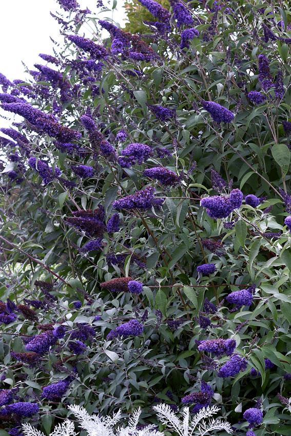 Buddleja Davidii Ellen S Blue Quot Butterfly Bush Quot Buy