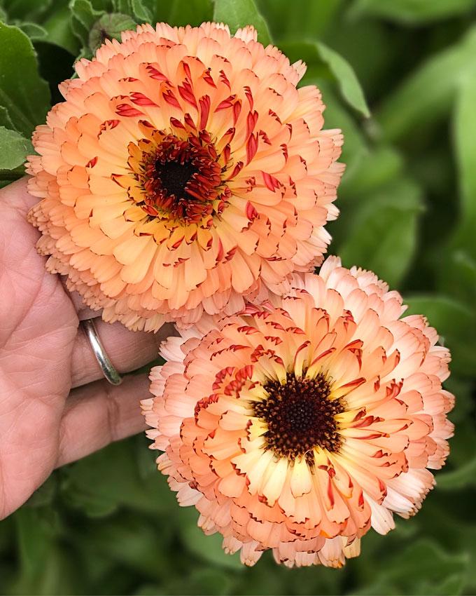 08ed5459a Calendula officinalis 'Bronzed Beauty'