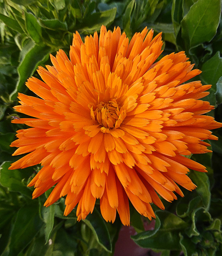 calendula officinalis 39 radio 39 buy online at annie 39 s annuals. Black Bedroom Furniture Sets. Home Design Ideas