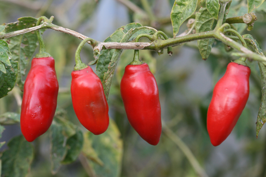 "Capsicum pubescens ""Rocoto"" ""Tree Pepper"""