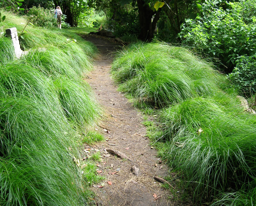 Carex divulsa formerly c tumulicola buy online at for Ornamental grasses that stay green all year
