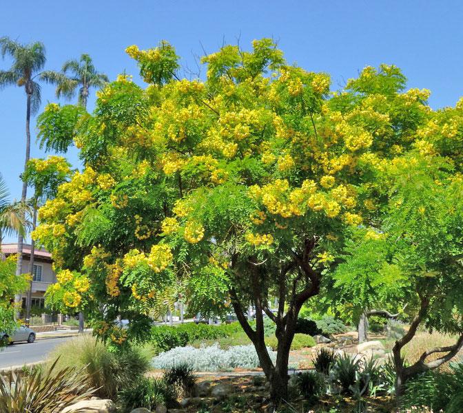 "Cassia leptophylla ""Gold Medallion Tree"" - Buy Online at ..."