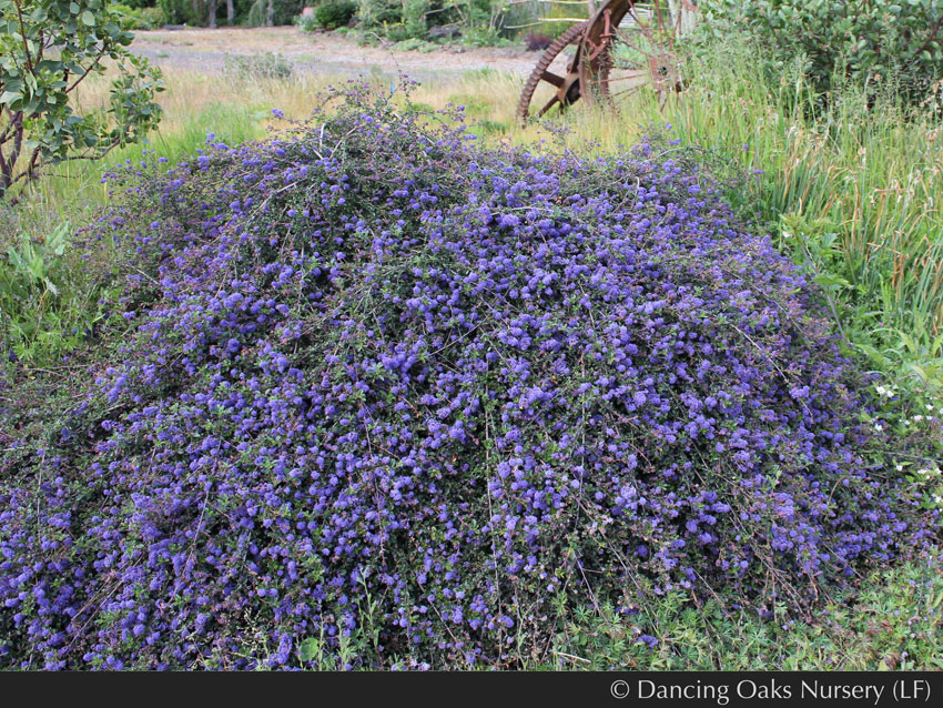 Ceanothus Centennial California Lilac