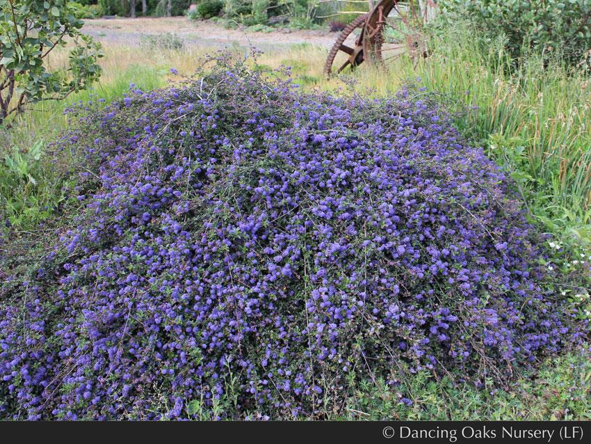 Ceanothus Centennial Quot California Lilac Quot Buy Online At