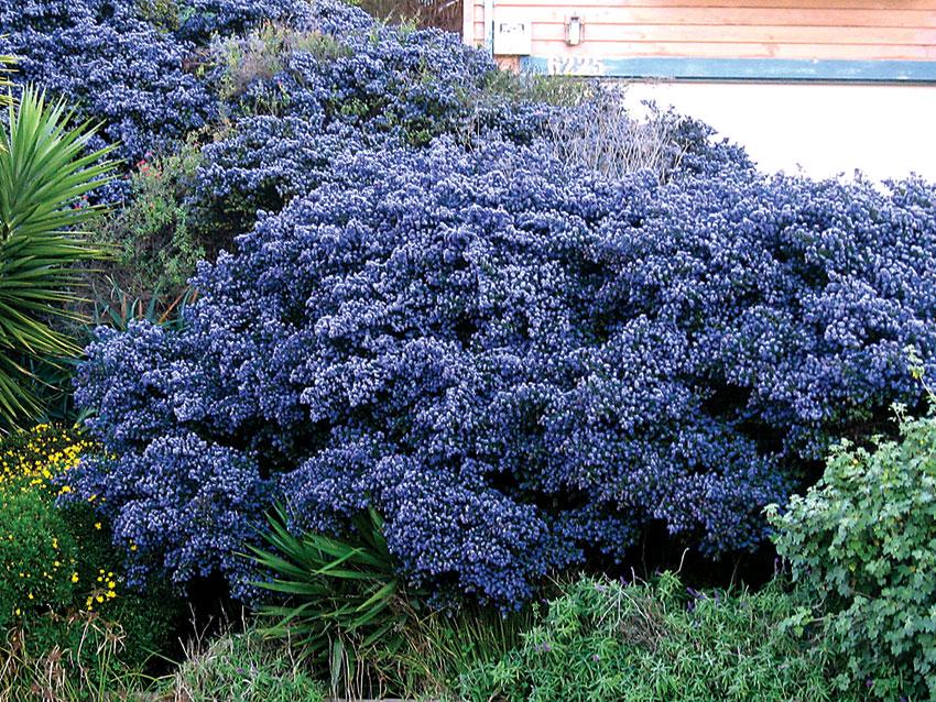 Drought Resistant Garden Gardensonline Achillea