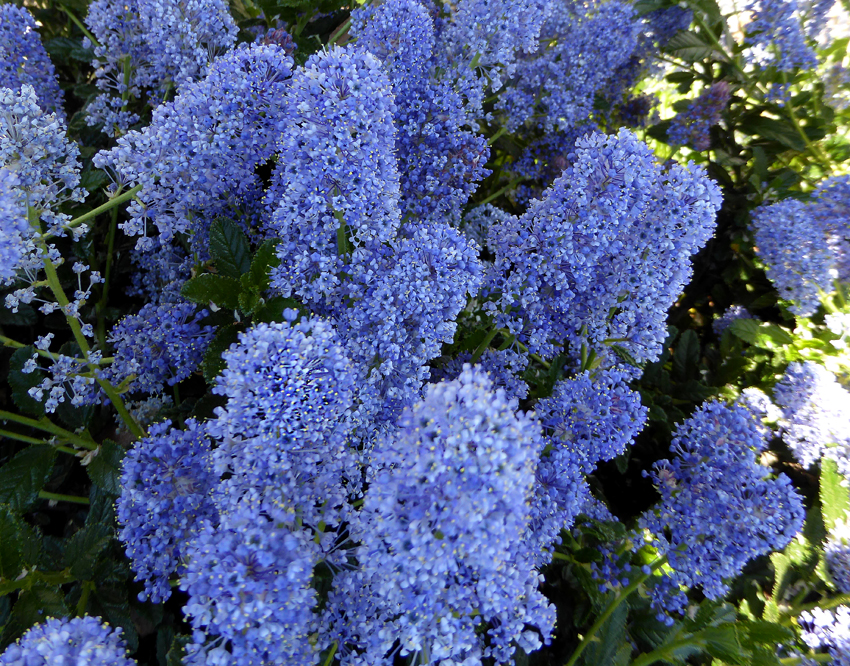 Ceanothus Joyce Coulter Buy Online At Annie S Annuals