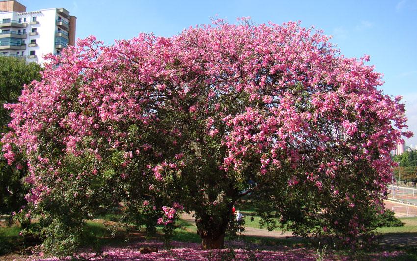 Ceiba speciosa silk floss tree buy online at annies annuals mightylinksfo
