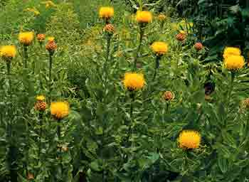 Centaurea macrocephala globe centaurea a most splendid border plant with large yellow thistle like flowers up to 4 across a good focal point in the garden and a long lasting cut flower also mightylinksfo