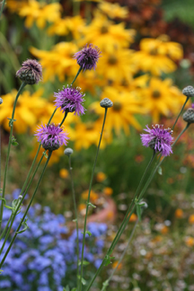 "Centaurea scabiosa ""Greater Knapweed"""
