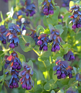 Cerinthe major purparascens