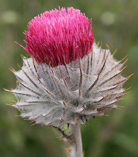 Is Your Thistle a Wildflower or Weed? | Powell Gardens' Blog