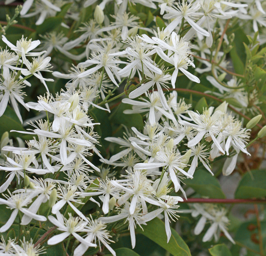 Clematis Ligusticifolia Western White Clematis Buy Online At