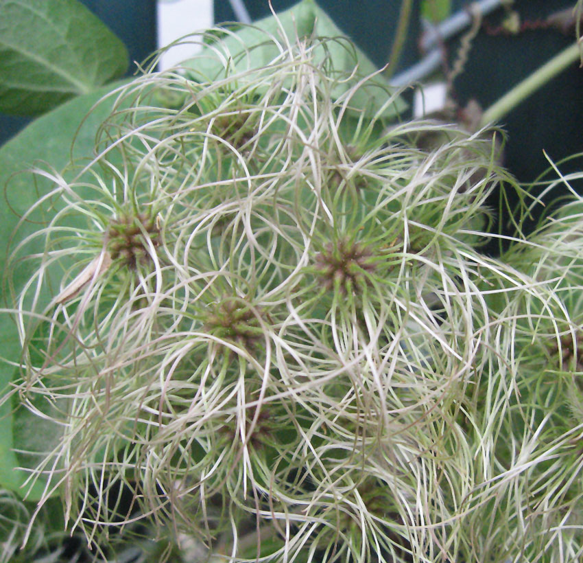 Clematis Ligusticifolia Quot Western White Clematis Quot Buy