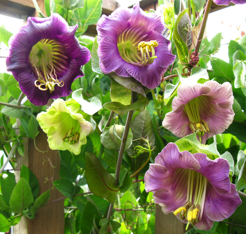 Cobaea Scandens Quot Cup And Saucer Vine Quot Buy Online At