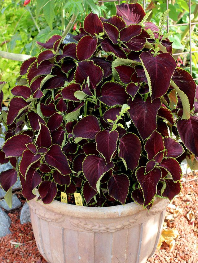 Buy Chocolate Mint Plant