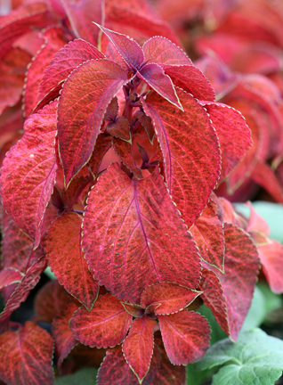 Coleus 'Wizard Sunset'