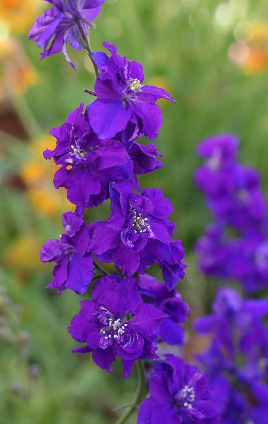 consolida ajacis giant imperial dark blue larkspur buy online