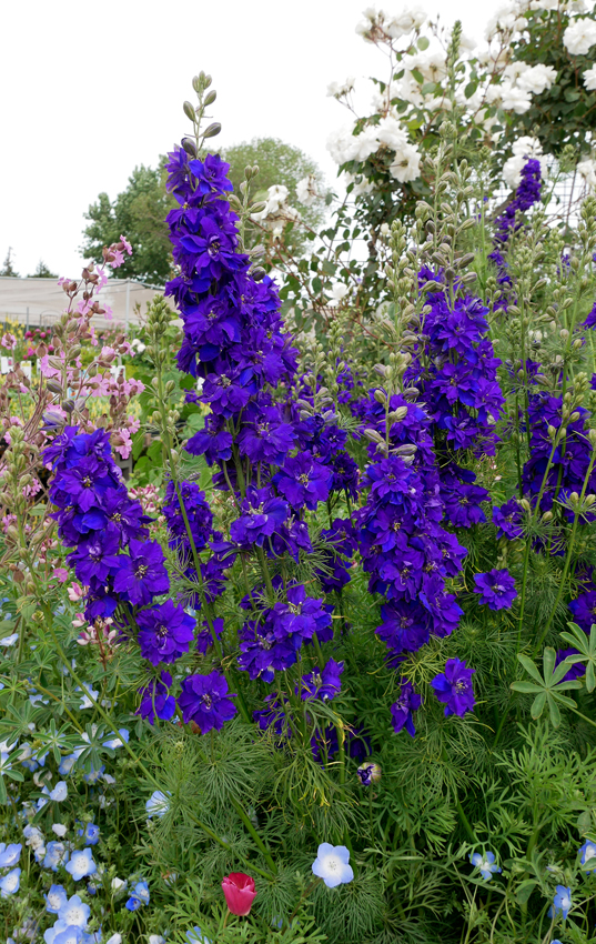 Consolida Ajacis Giant Imperial Dark Blue Larkspur Buy Online At Annie S Annuals