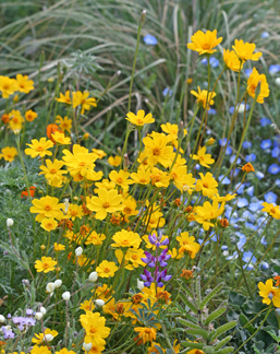 Coreopsis stillmanii golden fleece buy online at annies annuals this showy free flowering annual coreopsis is native to contra costa county in northern california it bears brilliant golden yellow flowers mightylinksfo
