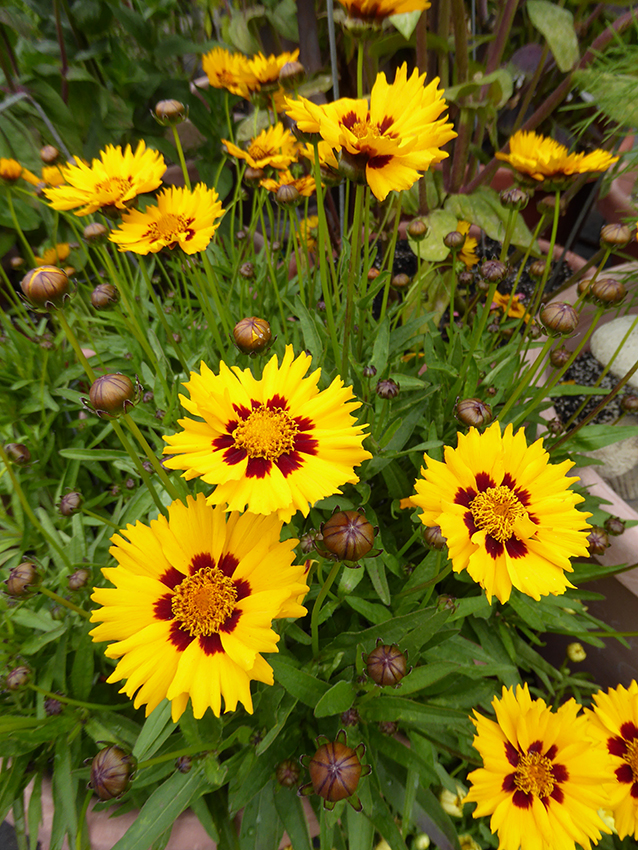 Coreopsis Grandiflora Sunfire Buy Online At Annie S