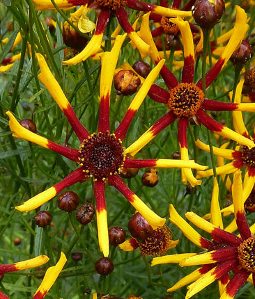 Coreopsis tinctoria 'Tiger Stripes'