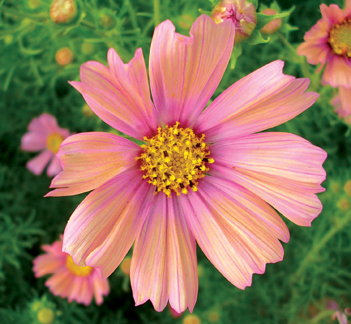 Cosmos 'Apricot'