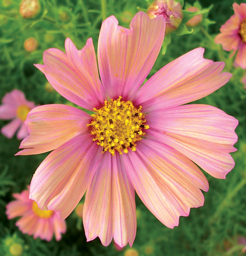 Cosmos bipinnatus apricot buy online at annies annuals cosmos bipinnatus apricot mightylinksfo Image collections