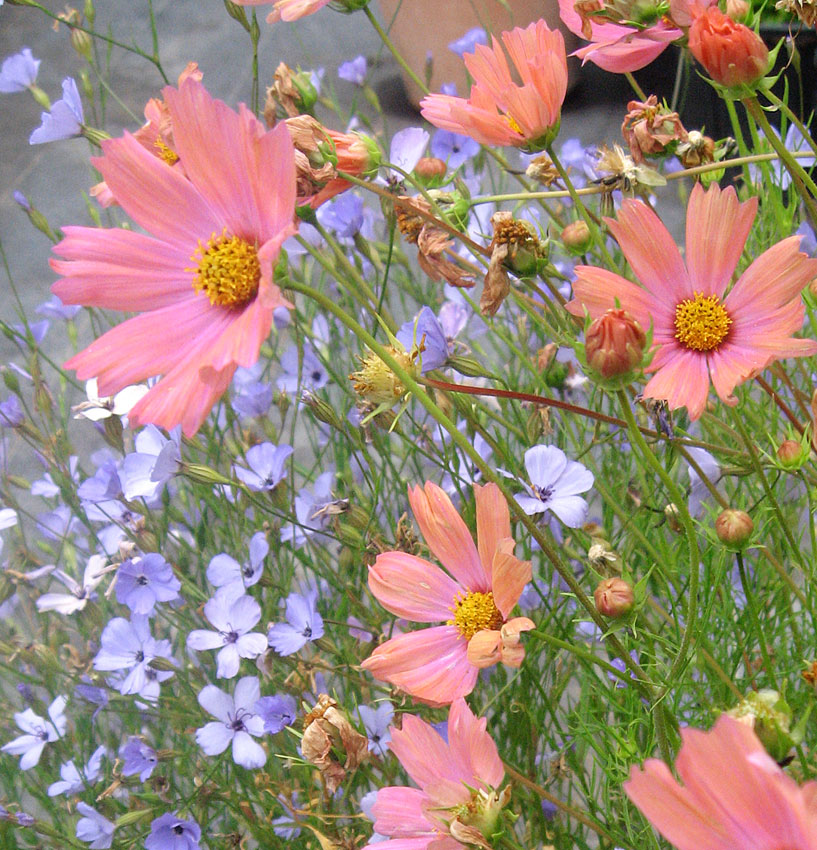Cosmos bipinnatus apricot buy online at annies annuals cosmos bipinnatus apricot cosmos bipinnatus apricot mightylinksfo