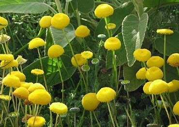 Cotula lineariloba big yellow moon buy online at annies annuals cotula lineariloba big yellow moon mightylinksfo