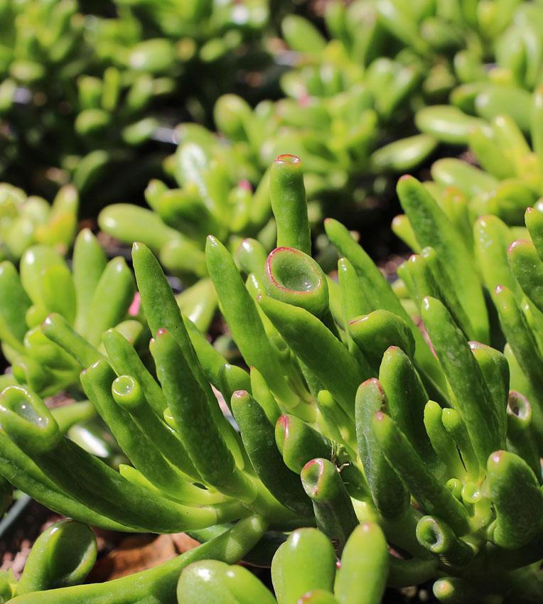 crassula ovata 39 hobbit 39 jade plant buy online at annie 39 s annuals. Black Bedroom Furniture Sets. Home Design Ideas