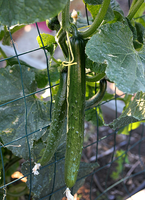 Cucumber Tasty Jade Buy Online At Annie S Annuals