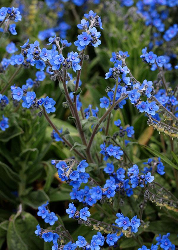 Cynoglossum Amabile Germination Cynoglossum Amabile 'azul'