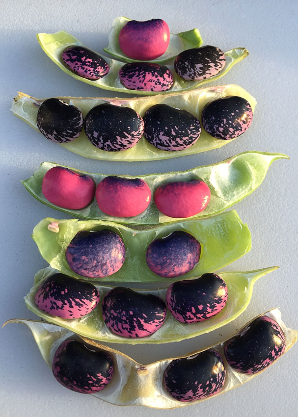 "bean phaseolus coccineus ""scarlet runner bean""  buy online at annie's annuals"
