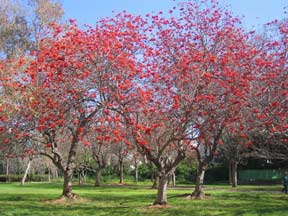 Erythrina lysistemon �Common Coral Tree�