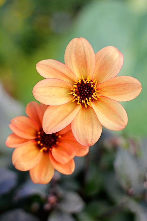 dahlia x hybrida bishop s children buy online at annie s annuals