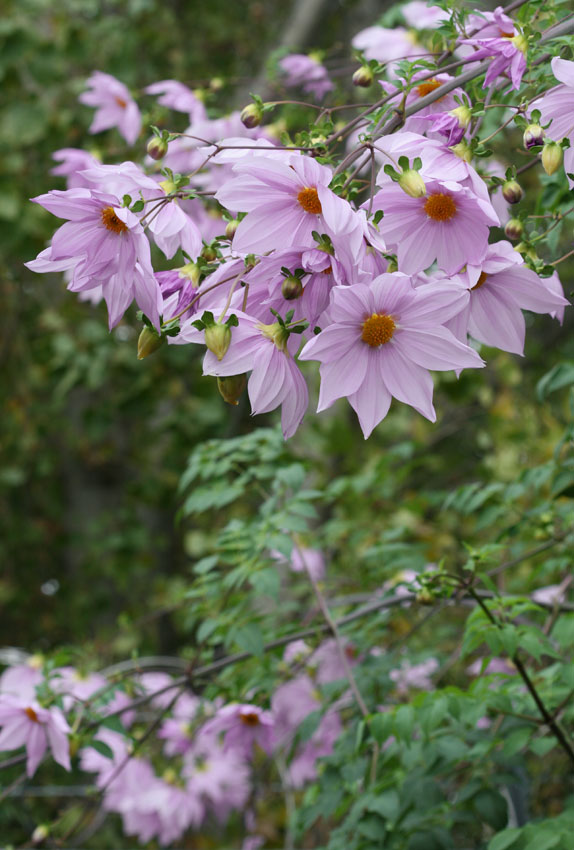 Dahlia Imperialis Quot Bell Tree Dahlia Quot Buy Online At Annie