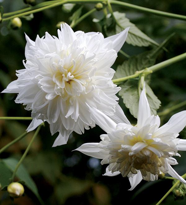 Dahlia imperialis \'Double White\' \