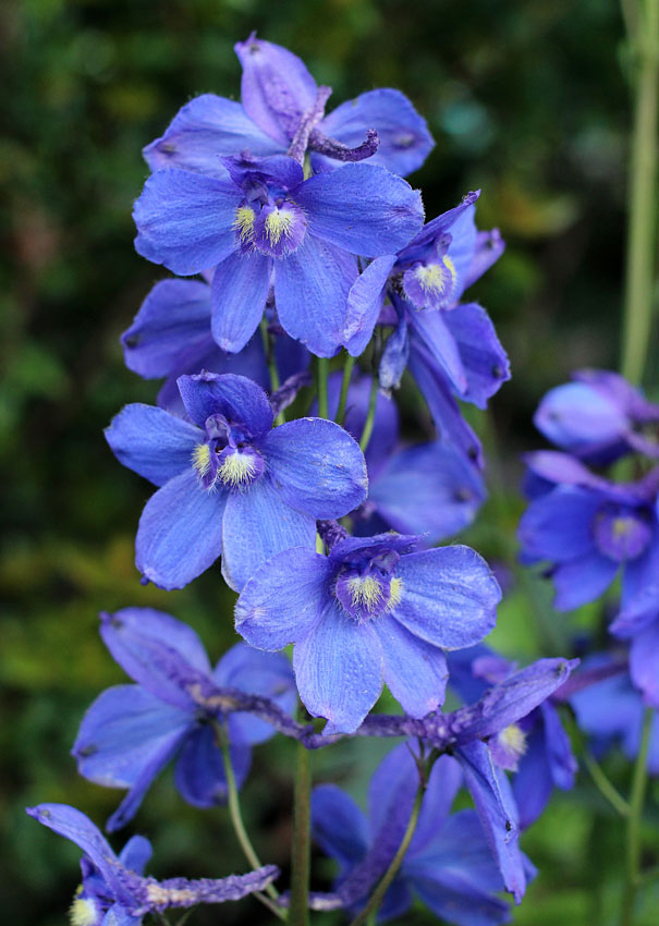 Delphinium Belladonna Blue Donna Buy Online At Annie S Annuals