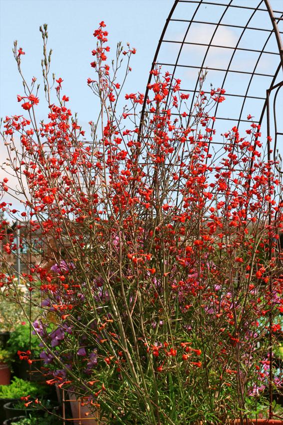 PlantFiles Pictures: Scarlet Larkspur (Delphinium cardinale) by Kelli