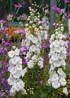 Delphinium 'Double Innocence'