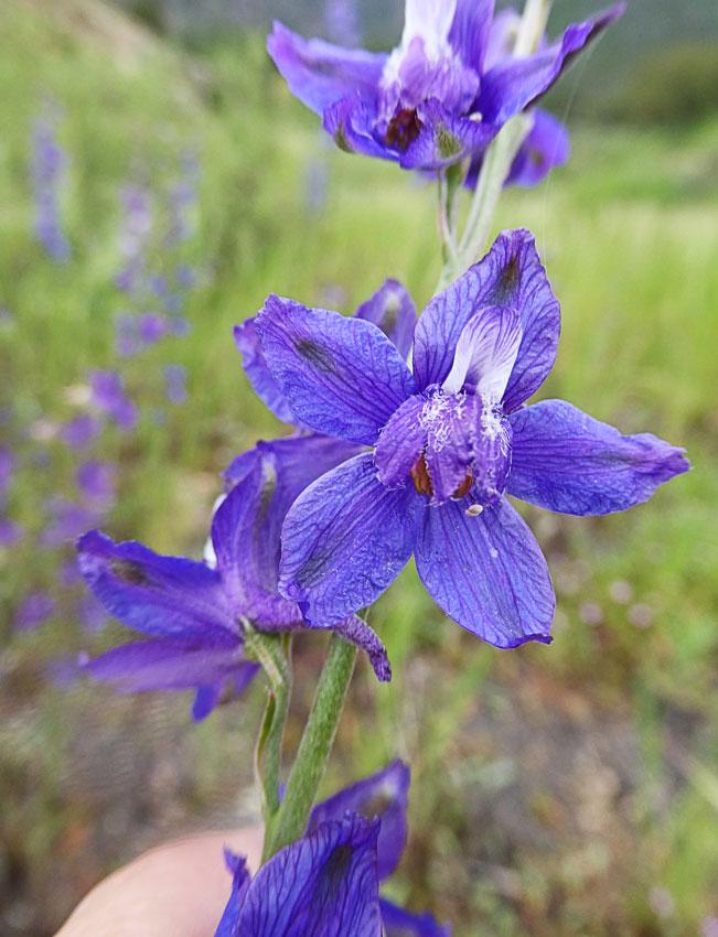 delphinium parryi ssp parryi parry s larkspur buy online at