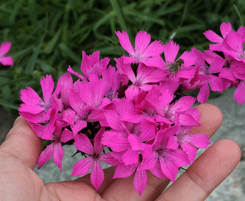 Dianthus carthusianorum clusterhead pink buy online at annies dianthus carthusianorum clusterhead pink mightylinksfo