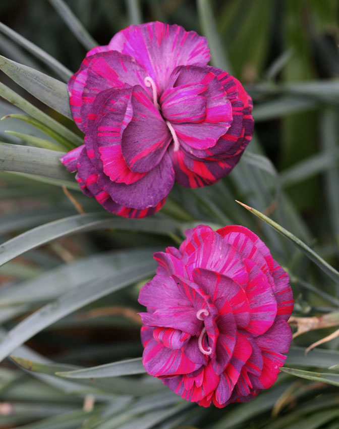 dianthus caryophyllus 39 chomley farran 39 buy online at annie 39 s annuals. Black Bedroom Furniture Sets. Home Design Ideas