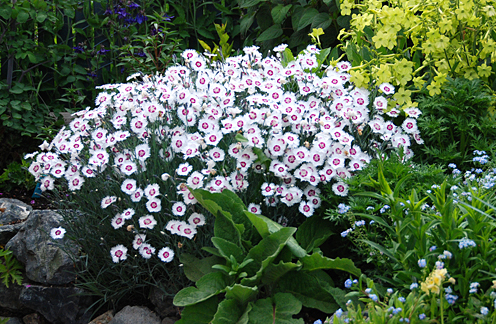 Dianthus plumarius 'Hercules' - Buy Online at Annie's Annuals