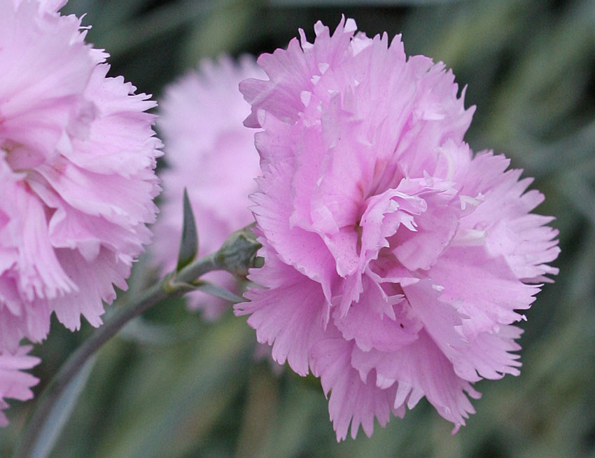 Dianthus plumarius 'Rose de Mai' - Buy Online at Annie's ...