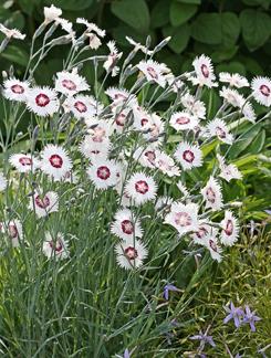 Dianthus Plumarius Quot Cottage Pinks Quot Buy Online At Annie S
