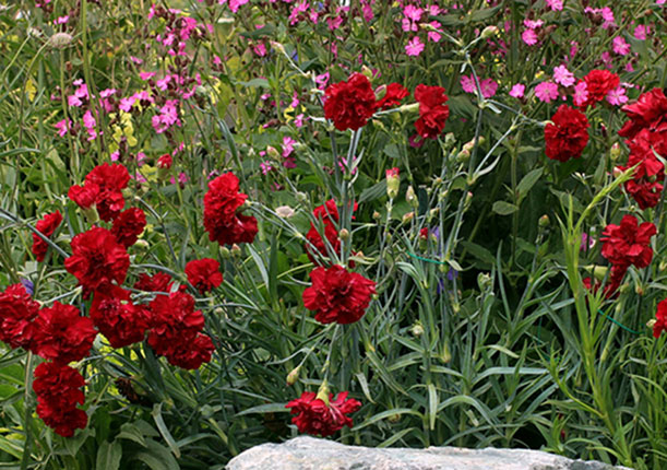 "Dianthus 'Queen of Hearts' ""Perpetual Carnation"""