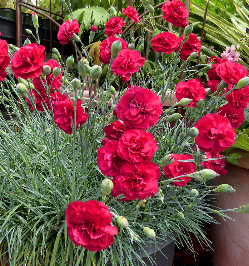 dianthus ruby s tuesday buy online at s annuals
