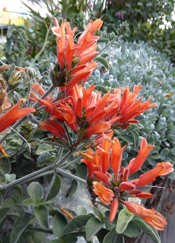 Dicliptera Suberecta Quot Uruguayan Firecracker Plant Quot Buy
