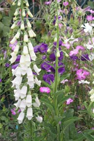 Digitalis purpurea 'Snow Thimble�